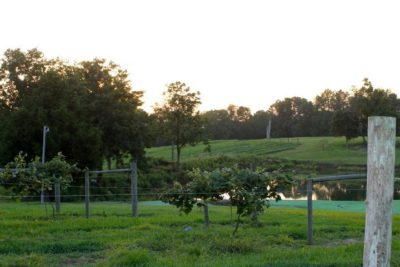 vineyards over the pond