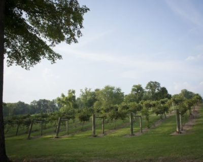 back vineyard view